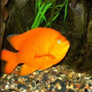 Garibaldi - the State fish of California and a local San Diego and Living Coast Discovery Center resident! photo credit: The Living Coast Discovery Center from http://www.crowdrise.com/swimSanDiego