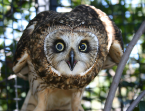one of the raptors you can visit onsite - nearly all of the birds onsite are rescue birds that are non-releasable. photo credit: thelivingcoast.org