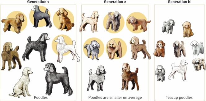 image via http://bio3520.nicerweb.com/Locked/chap/ch02/artificial_selection-poodles.html