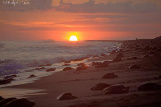 olive ridley arribada at Playa Escobilla photo by Ralph Pace via http://www.ralphpacephotography.com